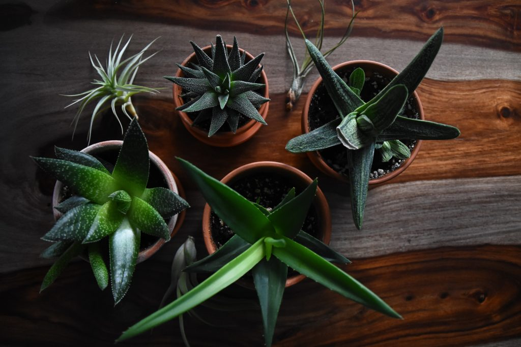 unterschiedliche Aloe Vera Pflanzenarten